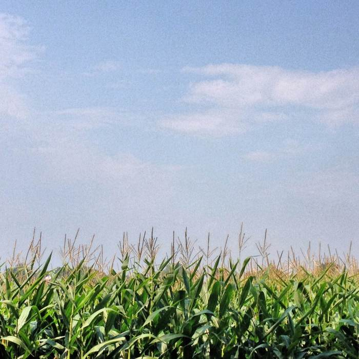 corn tassles