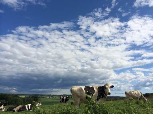cows-sky